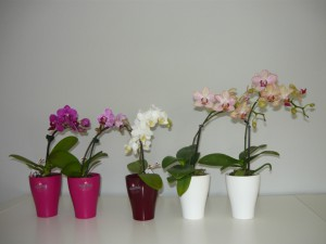 Mini orchidea1