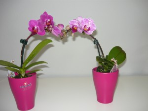 Mini orchidea2