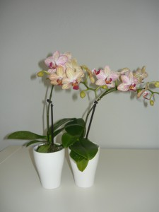 Mini orchidea5